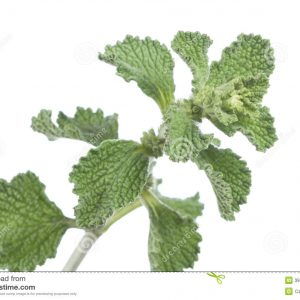 horehound-herb-closeup-branch-fresh-marrubium-vulgare-white-background-39643963